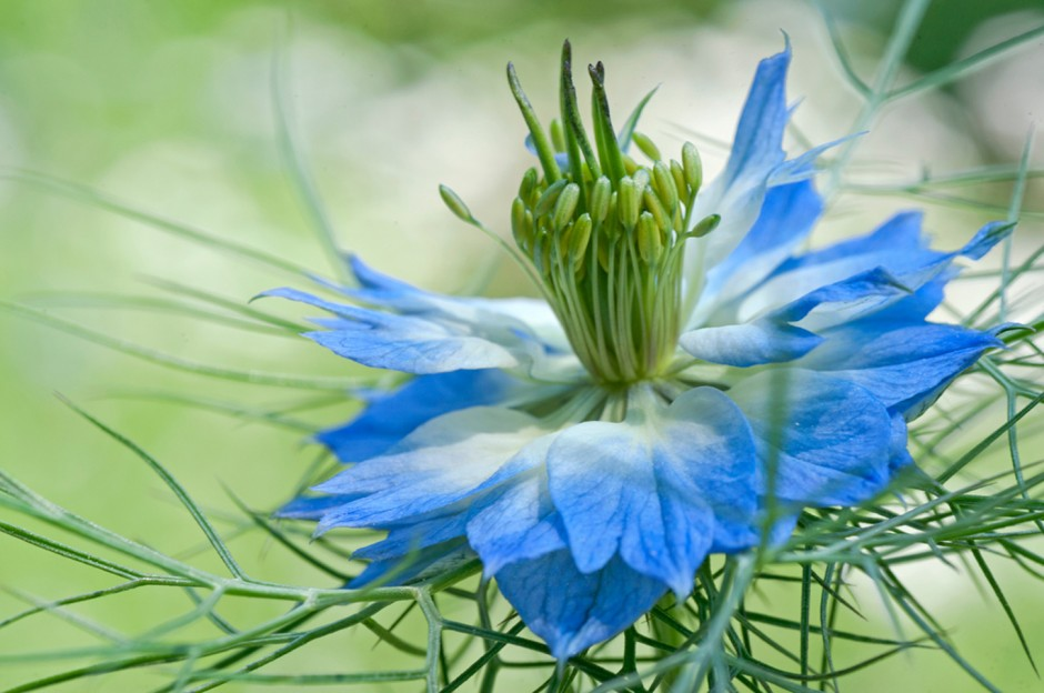 Nigella flower art print  photo collection